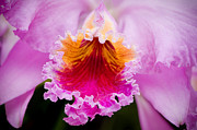 Flora Photos - Cattleya Orchid by Oscar Gutierrez