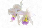 Cattleya Orchids Softly Print by Rosalie Scanlon