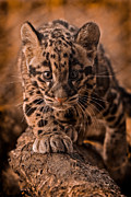 Golden Leopard Posters - Cautious Advance Poster by Ashley Vincent