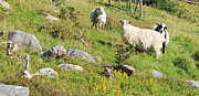 Pastureland Prints - Cautious Sheep in the Pasture Print by Barbara Griffin