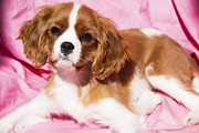 Daphne Sampson - Cavalier King Charles...