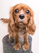 Friend Photos - Cavalier King Charles Spaniel Puppy by Edward Fielding