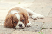 Pickens Prints - Cavalier Puppy Print by Kay Pickens