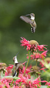 Bee In Flight Framed Prints - Cecilias Hummers. Framed Print by Patricia A Griffin