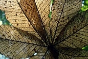 David Olson - Cecropia leaf leaf-miner...