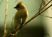 Amanda Collins Framed Prints - Cedar Waxwing Framed Print by Amanda Collins