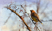 Bird In Tree Posters - Cedar Waxwing and Berries Poster by Julie Palencia
