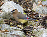 Cedar Waxing Framed Prints - Cedar Waxwing Framed Print by Eric Mace