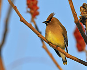 Cedar Waxwing Framed Prints - Cedar Waxwing in Sumac Framed Print by Tony Beck