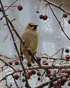 Appleton Prints - Cedar Waxwing in the Flats Print by Carol Toepke