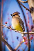 Cedar Waxwing Framed Prints - Cedar Waxwing In Winter Framed Print by Nathaniel Kidd