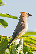 Natural Focal Point Photography - Cedar Waxwing