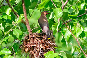 Nest Pyrography Posters - Cedar Waxwing on Nest Poster by Rebecca Brooks