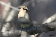 All - Cedar Waxwing by Sarah  Lalonde