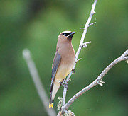 Adirondacks Prints - Cedar Waxwing Print by Steve Clough