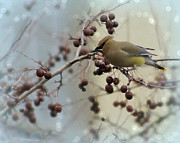 Appleton Prints - Cedar Waxwing Stop Over Print by Carol Toepke