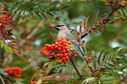 Tim Moore Metal Prints - Cedar Waxwing Metal Print by Tim Moore