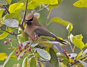 Black Berries Pastels Prints - Cedar Waxwing Print by Tracey Levine
