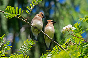 Tim Moore Metal Prints - Cedar Waxwings Metal Print by Tim Moore