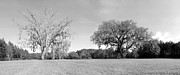 Live Oaks Originals - Cellon Oak Black and White by William Ragan