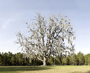 Live Oaks Originals - Cellon Oak Garden by William Ragan