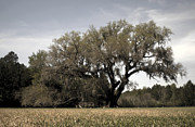 Live Oaks Originals - Cellon Oak by William Ragan