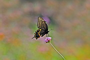Byron Varvarigos - Center Stage Swallowtail and Purpletop