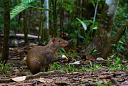 Vertebrates Prints - Central American Agouti Print by JP Lawrence