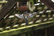 Finch Photos - Chaffinch Feeding  by Aidan Moran