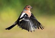 Small Bird Framed Prints - Chaffinch in flight Framed Print by Grant Glendinning