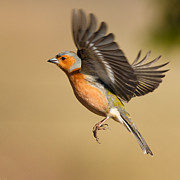 Izzy Art - Chaffinch in flight by Izzy Standbridge
