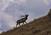 Male Elk Posters - Challenge of the Bull Elk Poster by Sandra Bronstein