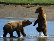 Challenging Prints - Challenging Brown Bears Print by Patricia Twardzik