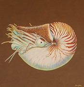 Chambered Nautilus Print by Bonnie Golden