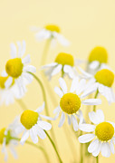 Chamomile Posters - Chamomile flowers close up Poster by Elena Elisseeva