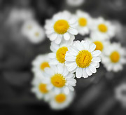 Closeup Photo Prints - Chamomile Print by Jane Rix