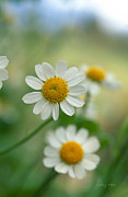 Floral Prints Photo Posters - Chamomile Poster by Kathy Yates