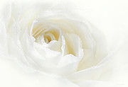 White Flower Photos - Champagne Rose Flower  by Jennie Marie Schell