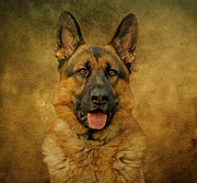 Dogs Digital Art Metal Prints - Chance - German Shepherd Metal Print by Sandy Keeton