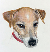 Collar Drawings Prints - Chance - Jack Russell Portrait Print by Jacqueline Barden