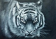 Photorealistic Prints - Charcoal Tiger Drawing Print by Ken Pettay