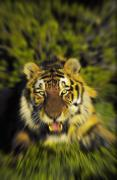 The Tiger Metal Prints - Charging Siberian Tiger Panthera Tigris Metal Print by Thomas Kitchin & Victoria Hurst