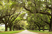 Live Oak Trees Posters - Charleston Avenue of Oaks Poster by Stephanie McDowell