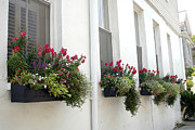 Charleston Houses Prints - Charleston Historic District Dreamy Flowers Window Boxes  Print by Kathy Fornal