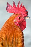 Adam Jewell - Charleston Red Rooster
