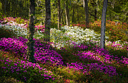 Azaleas Posters - Charleston SC Azalea Flowers and Sunlight - Fairytale Forest Poster by Dave Allen