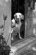 French Door Prints - Charleston Shop Dog in Black and White Print by Suzanne Gaff