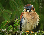 Shelley Myke Art - Charming by Nature American Kestrel Falcon.  by Inspired Nature Photography By Shelley Myke