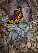 Checkerspot Art - Checkerspot Butterfly by Melinda Fawver