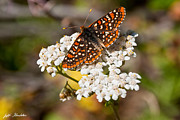 Checkerspot Posters - Checkerspot Butterfly on a Yarrow Blossom Poster by Jeff Goulden